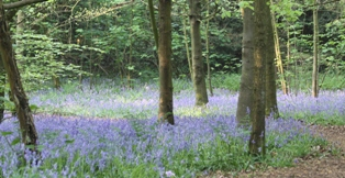 bluebell woods April 2011
